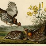Audubon's Birds of America - 186-Pinnated-Grous