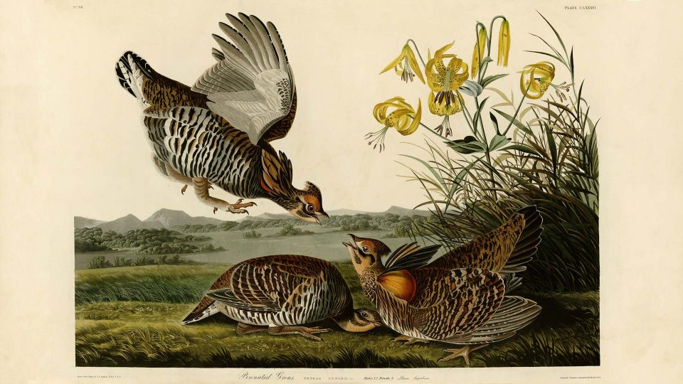 Audubon-186-Pinnated-Grous
