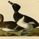 Audubon's Birds of America - 234-Tufted-Duck