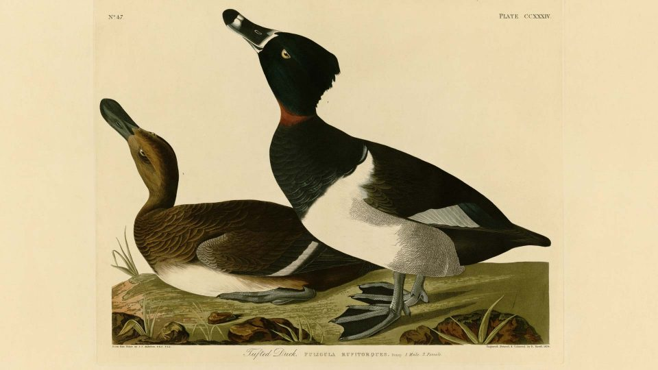 Audubon-234-Tufted-Duck