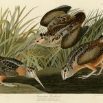 Audubon's Birds of America - 268-American-Woodcock