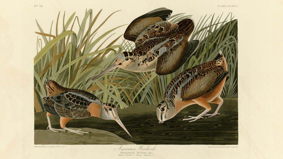 Audubon-268-American-Woodcock