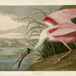 Audubon's Birds of America - 321-Roseate-Spoonbill
