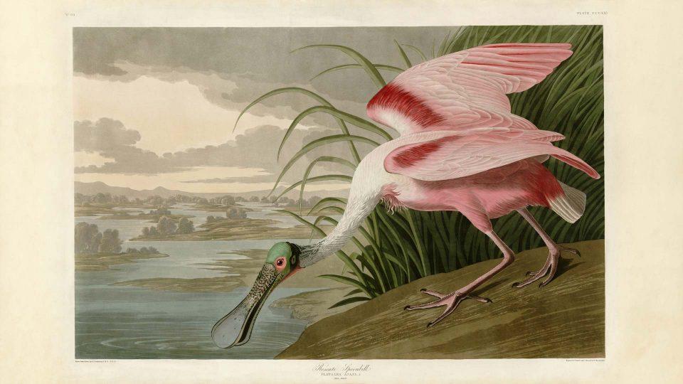Audubon-321-Roseate-Spoonbill