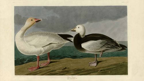 Audubon's Birds of America - 381-Snow-Goose