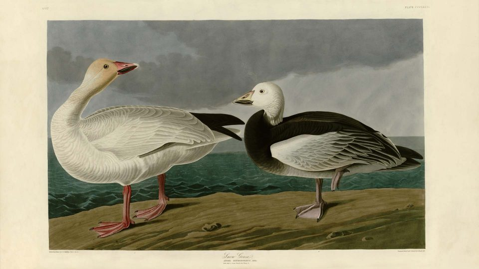 Audubon-381-Snow-Goose