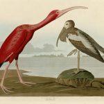 Audubon's Birds of America - 397-Scarlet-Ibis