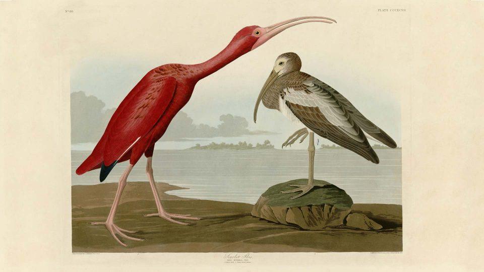 Audubon-397-Scarlet-Ibis
