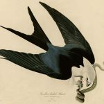 Audubon's Birds of America - 72-Swallow-tailed-Hawk