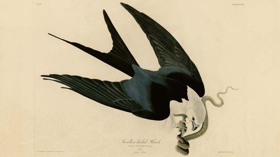 Audubon-72-Swallow-tailed-Hawk